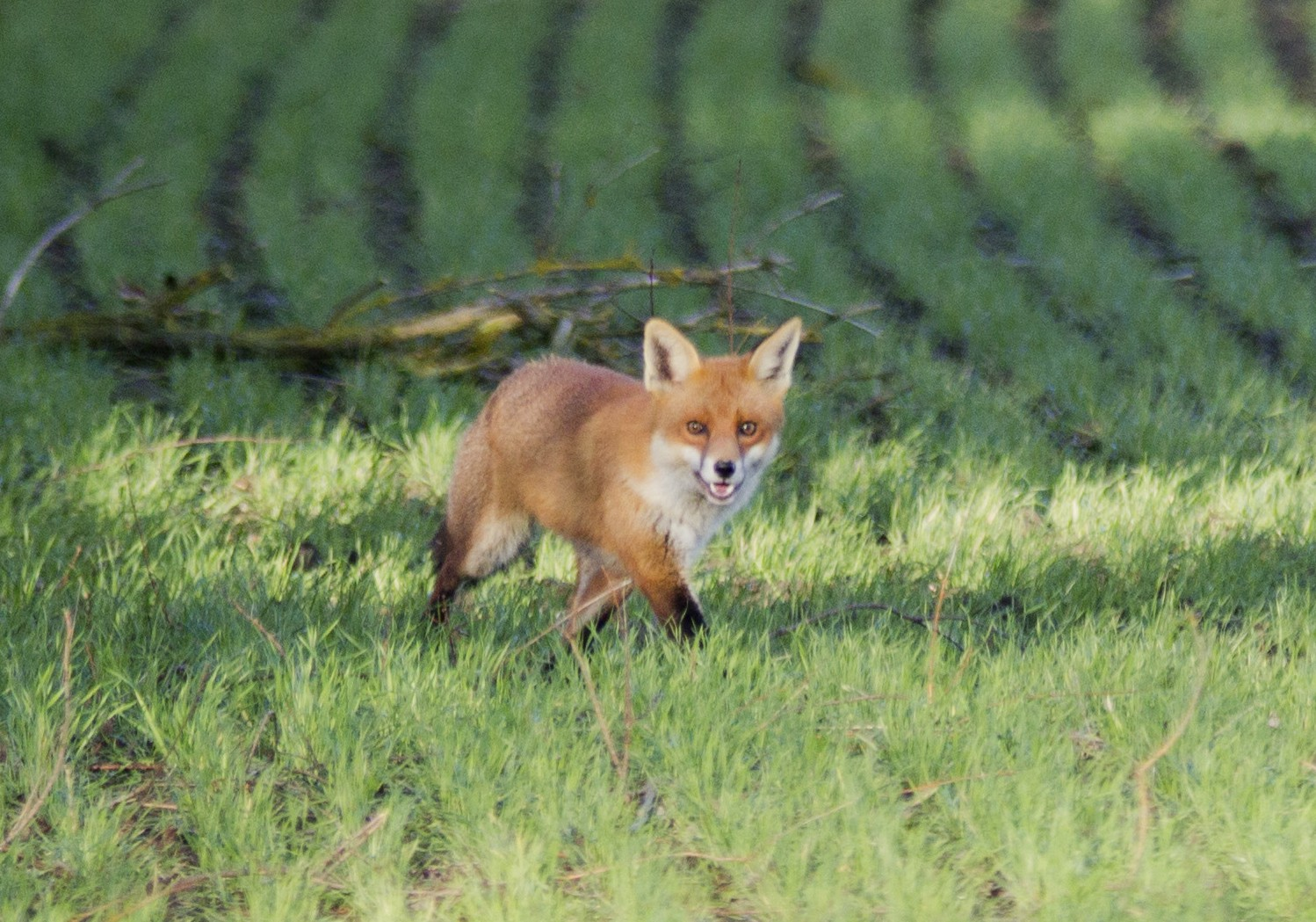 Commentary Fox